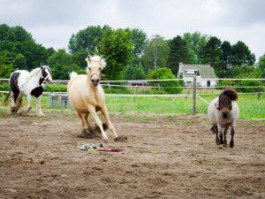 Rennende paarden op een manege