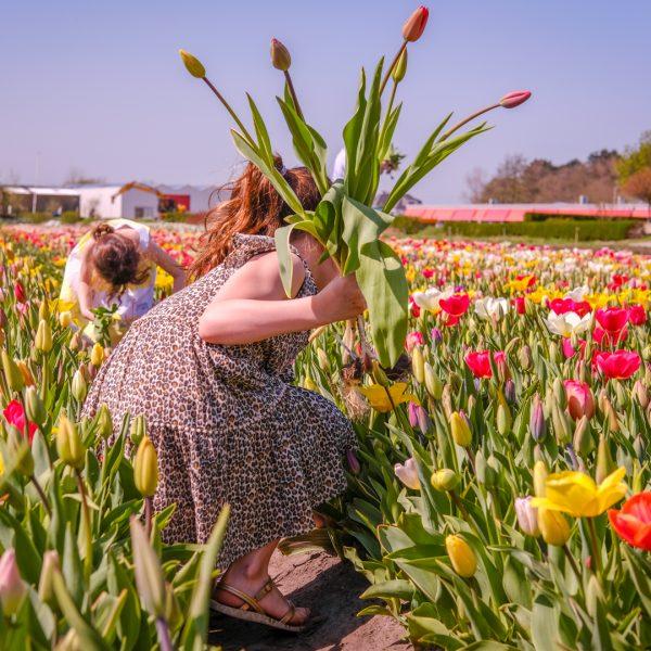 Tulpen plukken in Annemieke's Pluktuin
