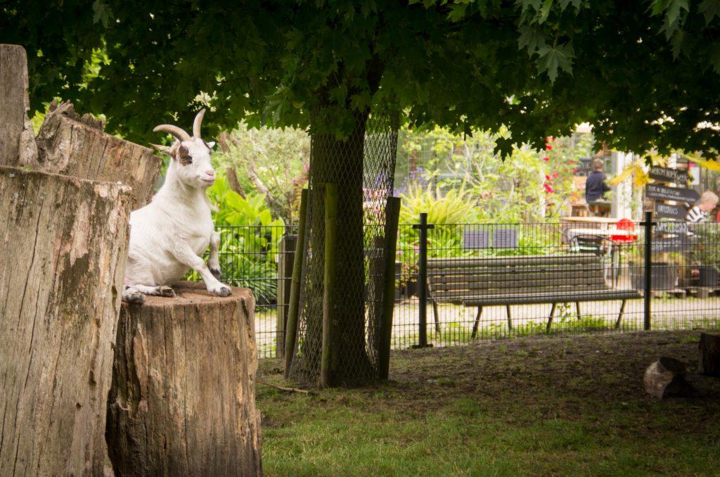 Geit in de Kweektuin Haarlem