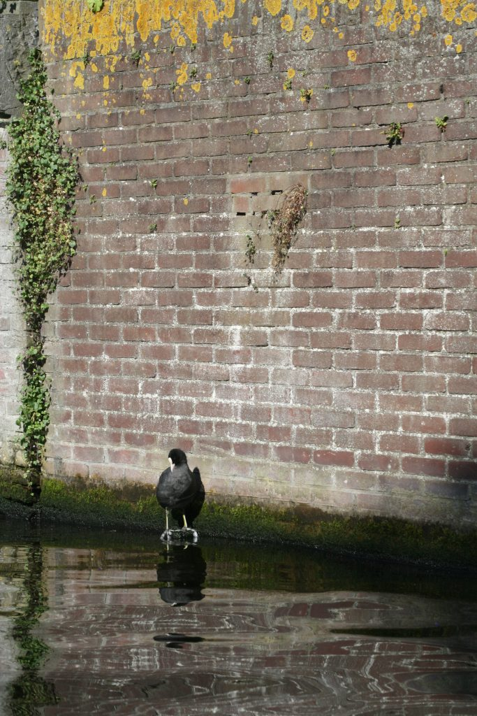 Coot in front of a wall in Haarlem