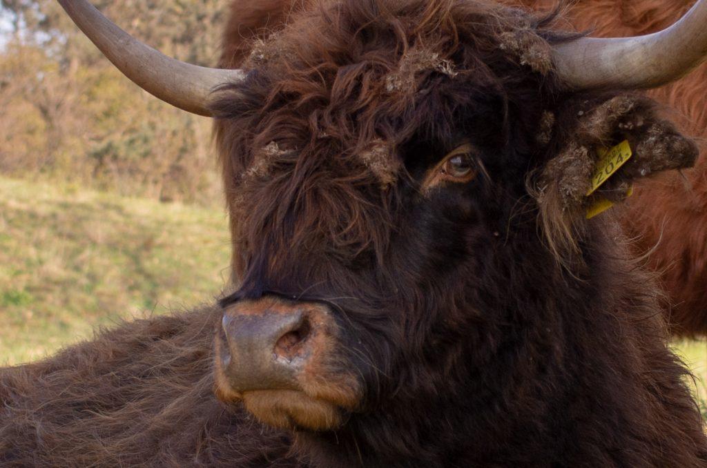 Schotse Hooglander bij Heerenduinen